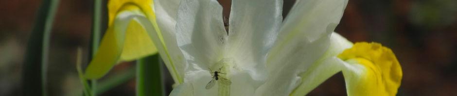 grossartige-schwertlilie-bluete-gelb-iris-magnifica