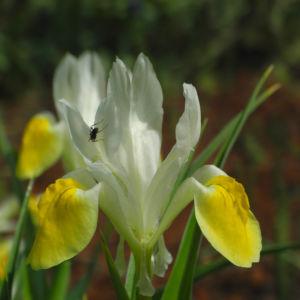 Großartige Schwertlilie Bluete gelb Iris magnifica 03