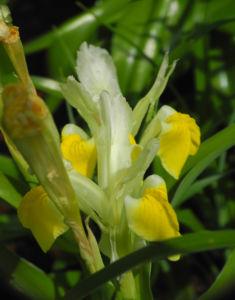 Großartige Schwertlilie Bluete gelb Iris magnifica 05