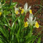 Bild: Großartige Schwertlilie Blüte gelb Iris magnifica