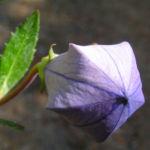 Grossbluetige Ballonblume Bluete blau Platycodon grandiflorum 01