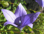 Grossbluetige Ballonblume Bluete blau Platycodon grandiflorum 03