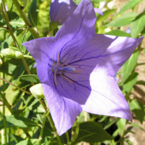 Grossbluetige Ballonblume Bluete blau Platycodon grandiflorum 09