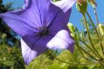 Grossbluetige Ballonblume Bluete blau Platycodon grandiflorum 10