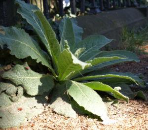 Bild: Grossbluetige Koenigskerze Blattrosette gruen Verbascum densiflorum