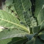 Grossbluetige Koenigskerze Blattrosette gruen Verbascum densiflorum 02