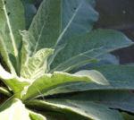 Bild: Großblütige Königskerze Blattrosette grün Verbascum densiflorum