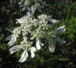 Grossbluetiger Breitsame Bluete weiß Orlaya grandiflora 01