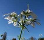 Grossbluetiger Breitsame Bluete weiß Orlaya grandiflora 02