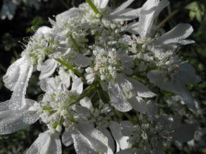 Grossbluetiger Breitsame Bluete weiß Orlaya grandiflora 04