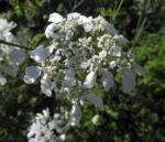 Grossbluetiger Breitsame Bluete weiß Orlaya grandiflora 05