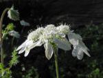 Grossbluetiger Breitsame Bluete weiß Orlaya grandiflora 06