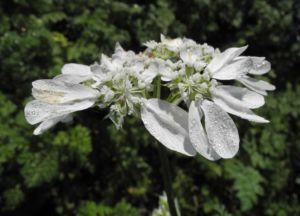 Grossbluetiger Breitsame Bluete weiß Orlaya grandiflora 07