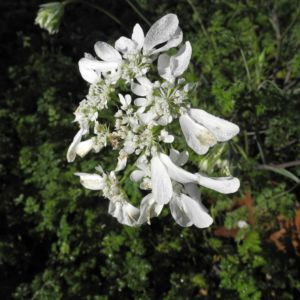 Grossbluetiger Breitsame Bluete weiß Orlaya grandiflora 08