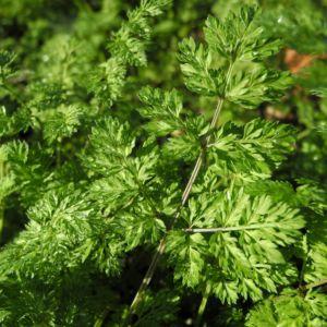 Grossbluetiger Breitsame Bluete weiß Orlaya grandiflora 09