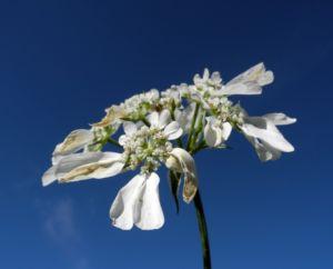 Grossbluetiger Breitsame Bluete weiß Orlaya grandiflora 11