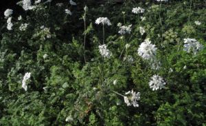Grossbluetiger Breitsame Bluete weiß Orlaya grandiflora 15
