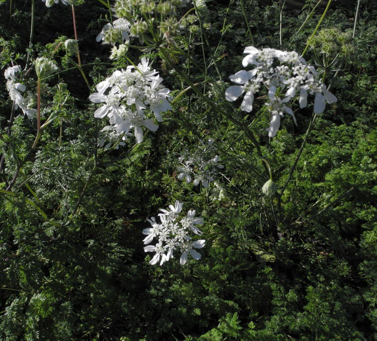Grossbluetiger Breitsame Bluete weiß Orlaya grandiflora
