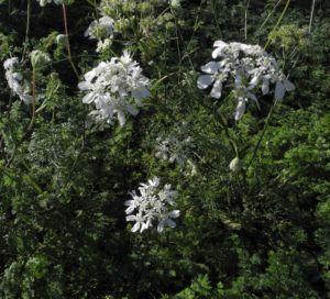 Grossbluetiger Breitsame Bluete weiß Orlaya grandiflora 16