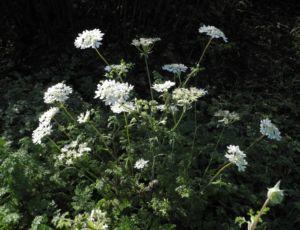 Großblütiger Breitsame Blüte weiß Orlaya grandiflora