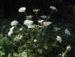 Zurück zum kompletten Bilderset Großblütiger Breitsame Blüte weiß Orlaya grandiflora