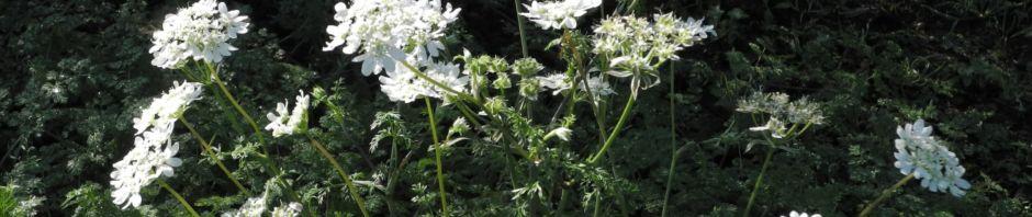 grossbluetiger-breitsame-bluete-weiss-orlaya-grandiflora