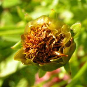 Grossbluetiges Maedchenauge Bluete dunkel Coreopsis grandiflora 08