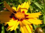Bild: Großblütiges Mädchenauge Blüte dunkelgelb Coreopsis grandiflora