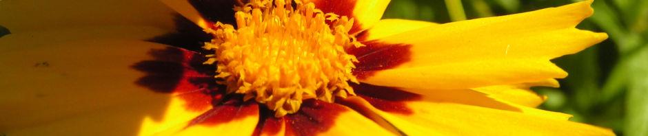 Anklicken um das ganze Bild zu sehen Großblütiges Mädchenauge Blüte dunkelgelb Coreopsis grandiflora