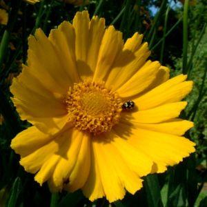 Grossbluetiges Maedchenauge Coreopsis grandiflora 01