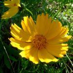 Grossbluetiges Maedchenauge Coreopsis grandiflora 02