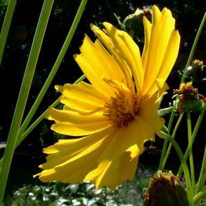Bild: Grossbluetiges Maedchenauge Coreopsis grandiflora