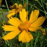 Bild: Großblumiges Mädchenauge Blüte gelb Coreopsis grandiflora