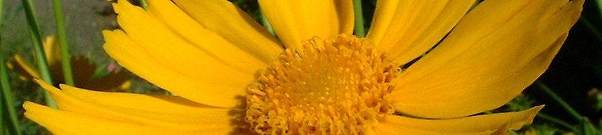Anklicken um das ganze Bild zu sehen Großblumiges Mädchenauge Blüte gelb Coreopsis grandiflora