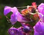 Grosse Braunelle Bluete lila Prunella grandiflora 04
