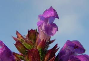 Grosse Braunelle Bluete lila Prunella grandiflora 11
