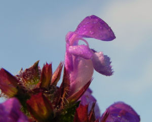 Bild: Grosse Braunelle Bluete lila Prunella grandiflora