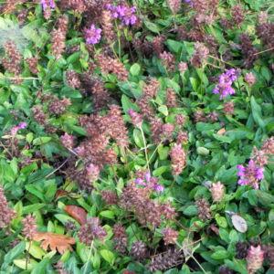 Grosse Braunelle Bluete lila Prunella grandiflora 13