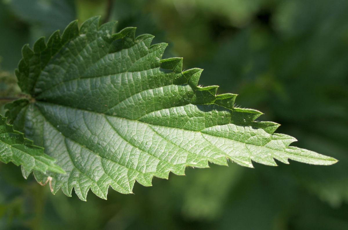 Grosse Brennnessel Blatt gruen Urtica dioica