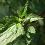 Grosse Brennnessel Blatt gruen Urtica dioica 03