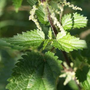 Grosse Brennnessel Blatt gruen Urtica dioica 04