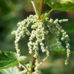 Grosse Brennnessel Blatt gruen Urtica dioica 07
