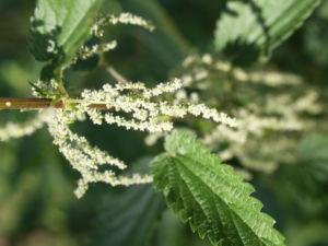 Grosse Brennnessel Blatt gruen Urtica dioica 10