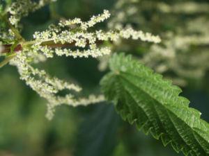 Grosse Brennnessel Blatt gruen Urtica dioica 11