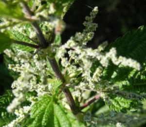 Grosse Brennnessel Bluete Blatt gruen Urtica dioica 06