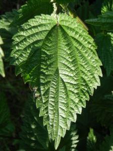Grosse Brennnessel Bluete Blatt gruen Urtica dioica 08