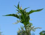 Grosse Brennnessel Bluete Blatt gruen Urtica dioica 14