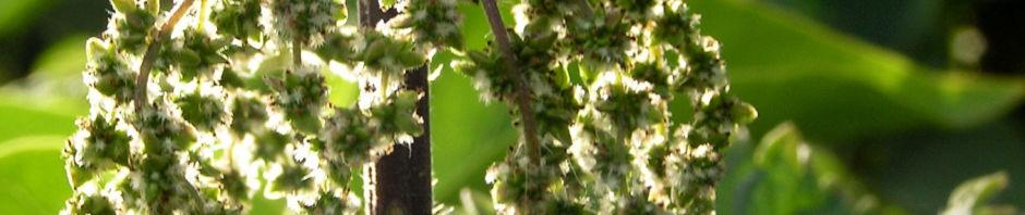 Anklicken um das ganze Bild zu sehen Grosse Brennnessel Blüte farblos Urtica dioica