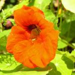 Grosse Kapuzinerkresse Bluete orange rot Tropaeolum majus 08