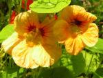 Grosse Kapuzinerkresse Bluete orange rot Tropaeolum majus 09